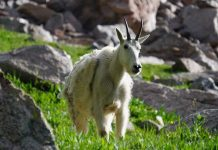 IDAHO CONSIDERING MOUNTAIN GOAT INDENTIFICATION MANDATE
