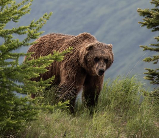 GRIZZLY SITED NORTHWEST OF KEMMERER WYOMING