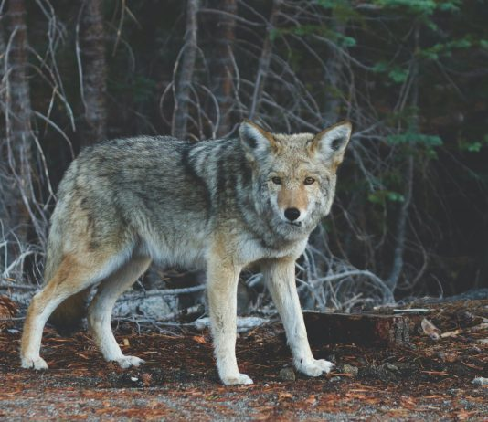 TENNESSEE DEBATES OVER COYOTE NIGHT HUNTING