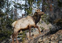 WYOMING ASKS HUNTERS TO HELP TEST FOR BRUCELLOSIS