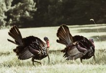 Turkey Hunters Shot