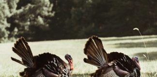 Turkey Hunters Shot