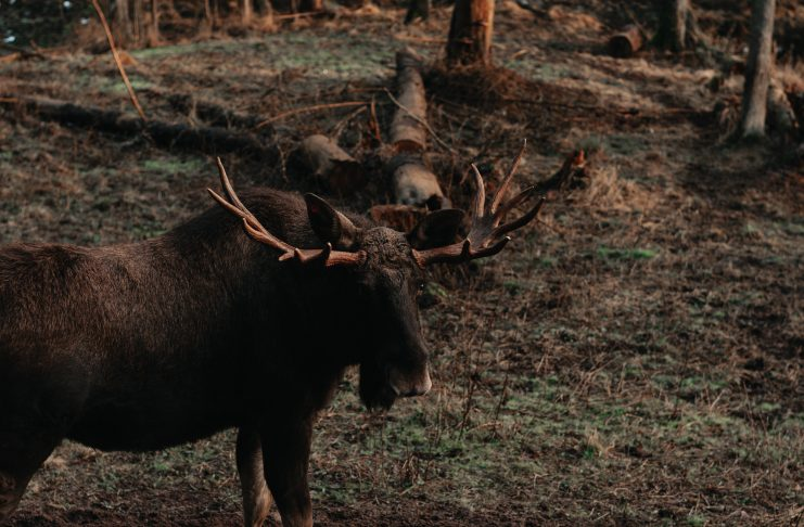 SECOND CASE OF CWD IN BULL MOOSE IN LIBBY MONTANA
