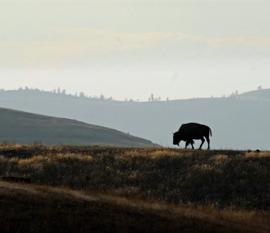 ATTEMPT TO STOP BISON HUNTING IN MONTANA