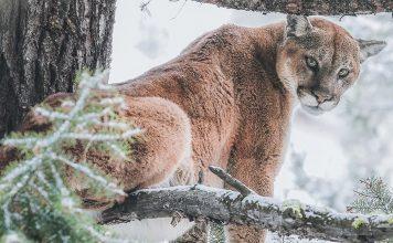 MOUNTAIN LION ATTACKS COLORADO MAN