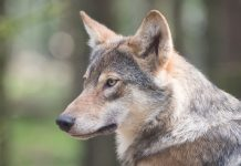 OREGON APPROVES KILL PERMITS FOR WOLVES
