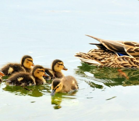 CALIFORNIA DUCK NUMBERS DOWN AGAIN