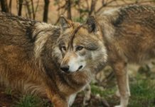 BILL ALLOWS HUNTERS TO BE PAID FOR WOLF HUNTING