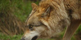 IDAHO WOLF HUNTING & TRAPPING SEASON START JULY 1