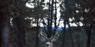 MULE DEER IN NORTH DAKOTA ON THE RISE