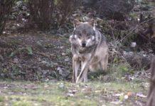 Wolf Reintroduction