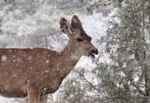 MULEY FANATIC FOUNDATION DONATES $25,000 FOR WILDLIFE CROSSING