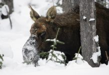AGGRESSIVE MOOSE EUTHANIZED COLORADO