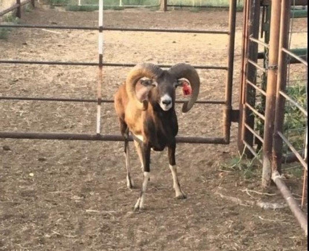 ILLEGAL SHEEP HUNTING RANCH