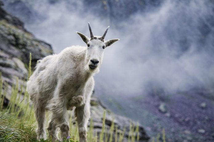 MOUNTAIN GOATS BEING EVICTED