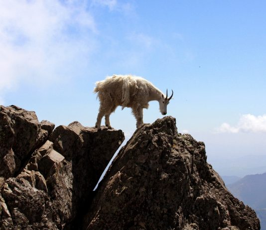 NATIONAL PARK RESUMES MOUNTAIN GOAT CULLING