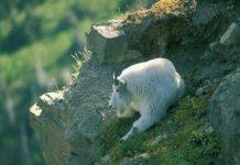 Mountain Goat Quiz Photo