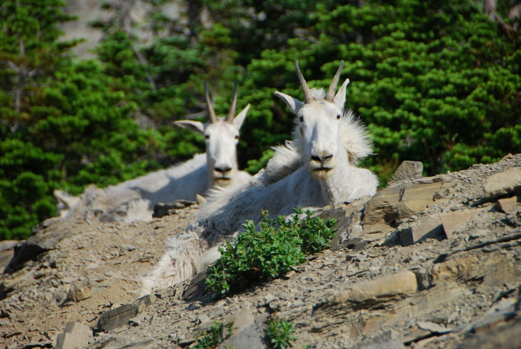 GOAT EXPLOITS SCOUTING GAME