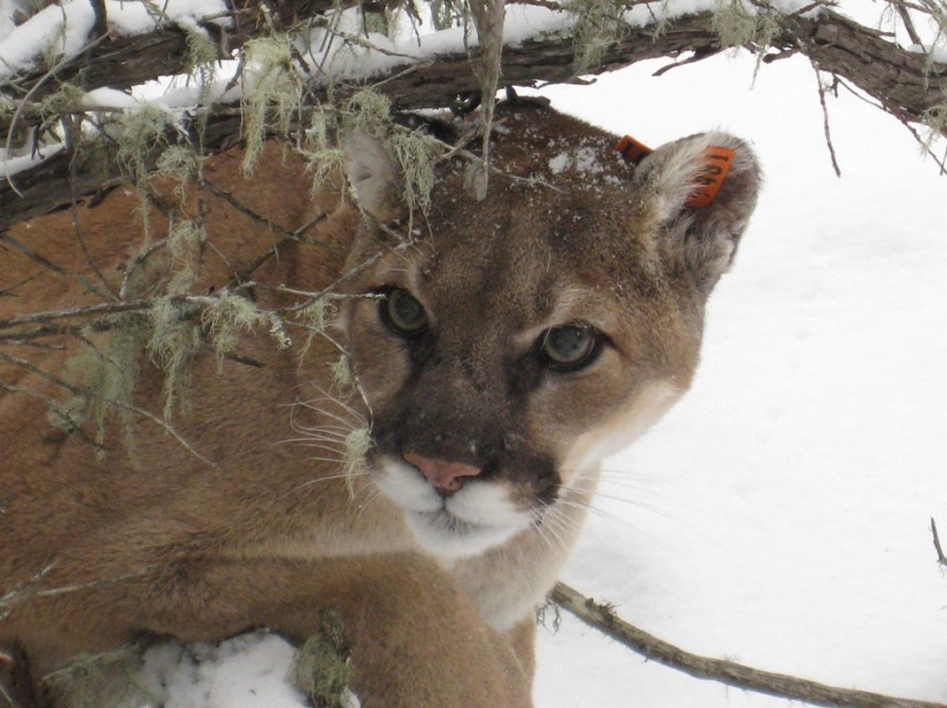 YELLOWSTONE COUGAR'S DIETS