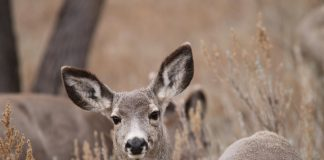 DEER ATTACKS ELDERLY COLORADO WOMAN