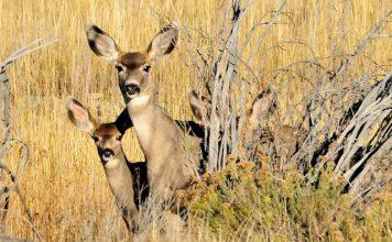 Mule Deer Numbers