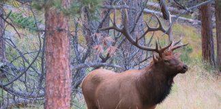 Nebraska Rancher Gets Depredation Permit to Kill 50 Elk