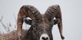NDGF PLANS TO REPLACE BIGHORN SHEEP HERD IN SOUTHERN BADLANDS