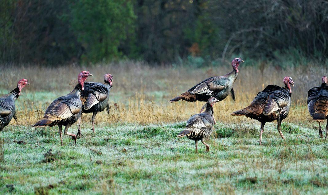 Idaho Turkey Outlook