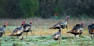 Idaho Turkey Outlook