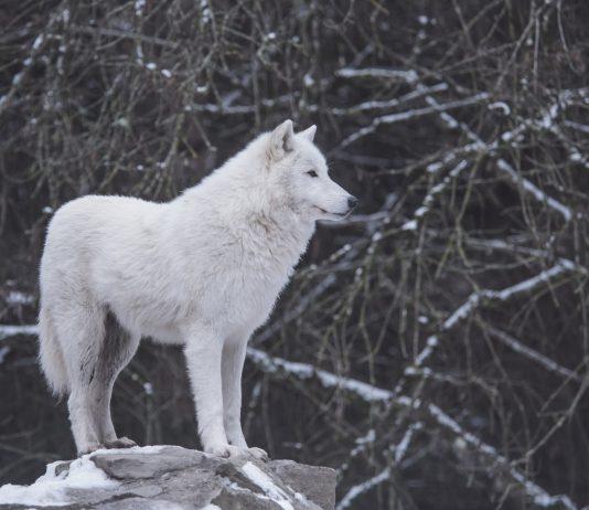 IDAHO LOOKS TO REIMBURSE WOLF HUNTERS