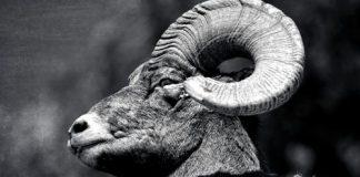 ZION BIGHORN SHEEP