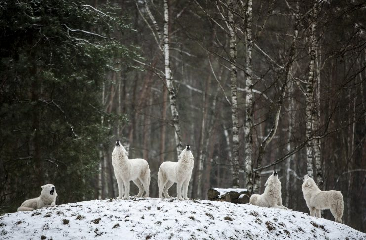 PARKS MAY EXPAND WOLF HUNTING