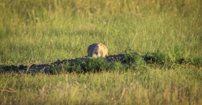 prairie dog sun bathing