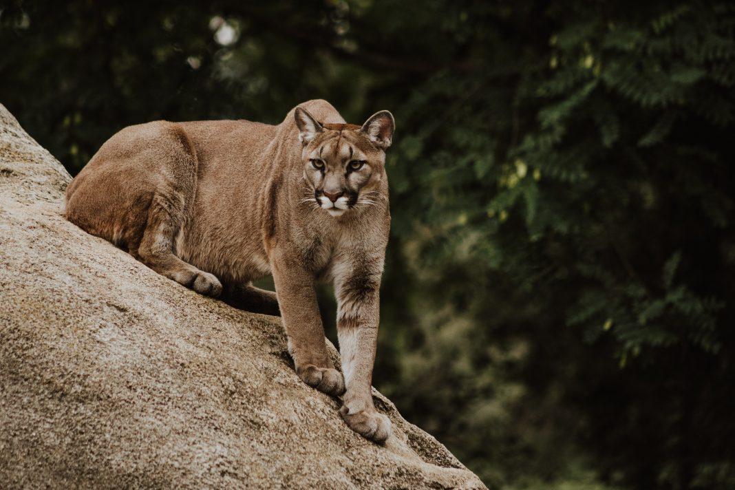 MANAGING MOUNTAIN LIONS IN COLORADO