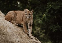 MANAGING MOUNTAIN LIONS IN COLORADO