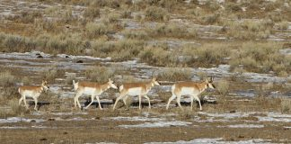 DEADLY WINTER WYOMING PRONGHORN