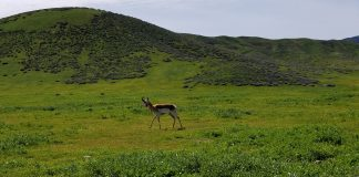 FEWER ANTELOPE TAGS IN WYOMING FOR 2021