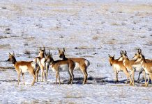 NORTH DAKOTA PRONGHORN SUCCESS RATE HITS 76%