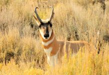 PRONGHORN IN NORTH DAKOTA ARE ON THE REBOUND