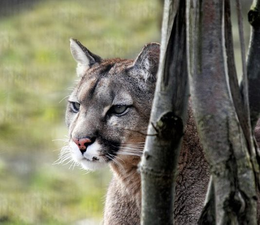 ATTACKING COUGAR FOUND