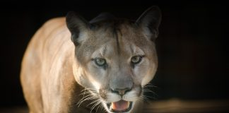 WASHINGTON BOY ATTACKED BY COUGAR