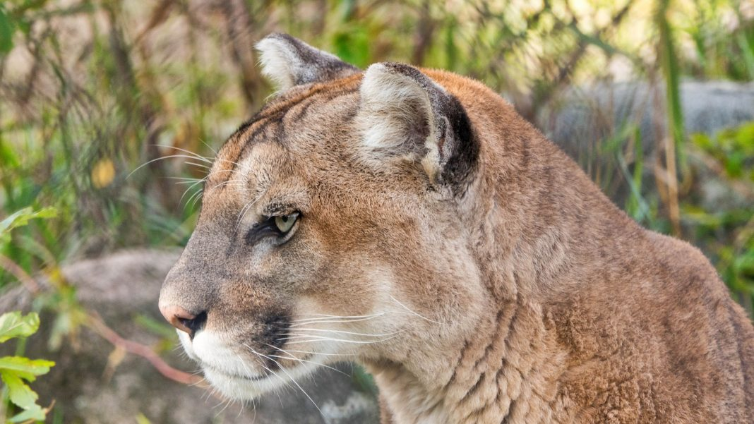 CPW AIRS EDUCATIONAL VIDEOS ABOUT COUGARS