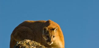 Mountain Lion Travels 130 Miles