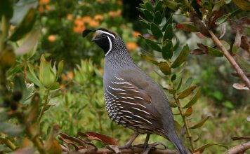IOWA UPLAND BIRD FORECAST