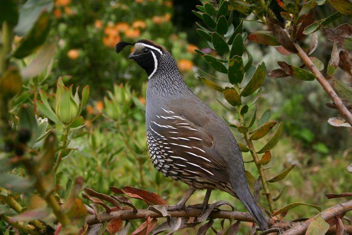 IOWA UPLAND BIRD FORECAST