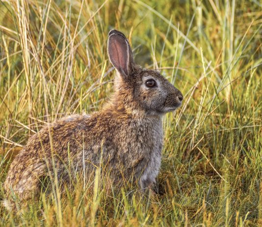 THE RABBIT PANDEMIC OF THE WESTERN USA