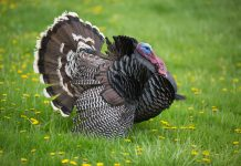 Poachers in Mississippi kill nearly 100 wild turkeys