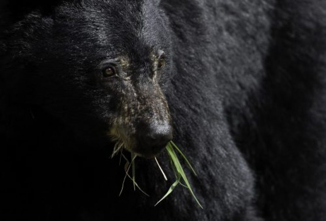 RATON BEAR ATTACK