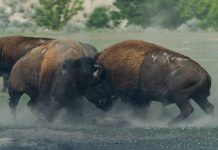 GRAND CANYON PLANS TO CULL BISON HERD