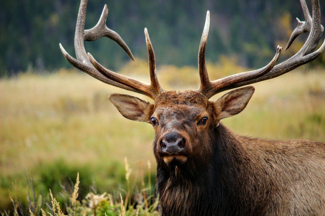 Two Bull Elk Poached